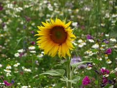 die Flower Power (germancute) Tags: wildflower nature outdoor blume flower summer sommer wiese ngc