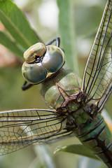 Libellule (◄Laurent Moulin photographie►) Tags: odonate libellule bellefontaine jura macro macrophotographie macrophotography nature dragonfly