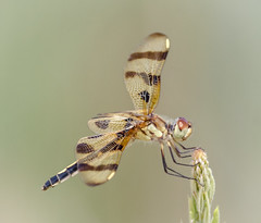 Female Halloween Pennant (tresed47) Tags: 2017 201707jul 20170703newjerseybirds canon7d content dragonflies ebforsythenwr folder halloweenpennant insects july newjersey peterscamera petersphotos places season summer takenby us