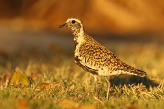 Pacific Golden Plover / Kolea (Pluvialis fulva) (s_uddin59) Tags: pacificgoldenplover goldenplover plover pluvialis fulva pluvialisfulva bird goldenlight breedingplumage shorebird wader migratorybird nature wildlife wildbird uhm uhmanoa manoa honolulu oahu hawaii kolea