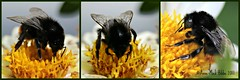 LITTLE BUSY BEE VISITING A DAHLIA || BIJTJE & DAHLIA (Anne-Miek Bibbe) Tags: canoneos700d canoneosrebelt5idslr annemiekbibbe bibbe nederland 2017 tuin garden jardin giardino jardim natuur nature dahlia bij bee busy