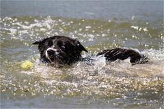 ... Drift ... (neurosheep) Tags: drift bordercollie water ball crazyeyes