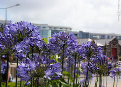 Agapanthus Group (AnnMelanie) Tags: sthelier jersey channelislands harbour boats water blue sea cranes reflections agapanthus nilelily flower plant bloomsummer sunshine