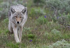 Coyote Stroll - 9197b+ (teagden) Tags: coyote stroll summer jenniferhall jenhall jenhallphotography jenhallwildlifephotography wildlifephotography wildlife yellowstonenationalpark yellowstone yellowstonepark yellowstonewildlife ynp photography wild nikon nature naturephotography