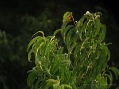 Real life tree Vanguard (Firsh) Tags: vanguard binoculars