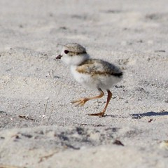 Piping Plover (nancyvillone) Tags: piping plover chick cape cod ma