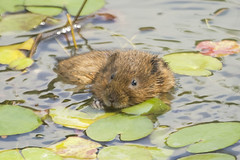 WATER VOLE (_jypictures) Tags: animalphotography animals animal canon7d canon canonphotography jyphotography jypictures photography pictures wildlife wildlifephotography wiltshire watervole vole nature naturephotography