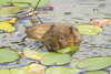 WATER VOLE (_jyphotography) Tags: animalphotography animals animal canon7d canon canonphotography jyphotography jypictures photography pictures wildlife wildlifephotography wiltshire watervole vole nature naturephotography