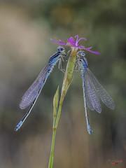 Par azul (gatomotero) Tags: olympusomdem1 mzuiko60 nature macrofield damselfly bluedamselfly caballitodiablo ambiente odonatos aliste zamora