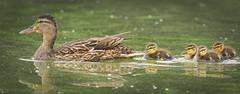 Following mommy (hedera.baltica) Tags: duck mallard kaczka krzyżówka kaczkakrzyżówka anasplatyrhynchos duckling ducklings ducks mallards kaczątko kaczątka kaczki krzyżówki