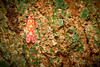 Derbid Planthopper (Derbidae), Singapore (singaporebugtracker) Tags: singaporebugtracker wallpaper motifs colorfulinsect orangebug derbidae funnyeyes patterns cuteinsect macro derbidplanthopper greenmoss cracklybark lichen bizarresapsuckinghopper