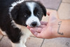 Border Collie (Adrienn723) Tags: nature naturaleza outside outdoor animals animales animal floraandfauna flor flower flora colorful colors dog perro mascote pet border bordercollie blackandwhite little perrito tattoo playing play hiding playful