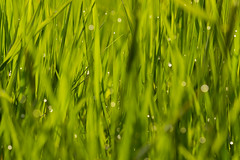 Einfach mal im Gras liegen... ([-ChristiaN-]) Tags: wallpaper bokeh bokehlicious gras grass wide desktop background free light reflections green soap bubble textur organisches muster pflanze minimalismus schärfentiefe abstrakt grün sigma drop water wasser explore