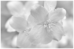 So close, so white (jmschrei) Tags: bw blossoms bokeh floral k5 mockorange monochrome nature pentax tamron9028