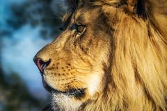 King (Amazing Aperture Photography) Tags: nature wildlife animal portrait profile lion male bigcat feline cat predator carnivore sonya6000 africa mammal
