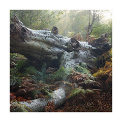Fallen Leviathan (Geoff Kell (Old Forest Man)) Tags: forest fallen trees woodland dawn morning newforest autumn