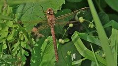 Brown Hawker - Female      (Aeshna grandis) (nick.linda) Tags: brownhawkerdragonfly femalebrownhawkerdragonfly dragonflies aeshnagrandis lowbarnsnaturereserve durhamwildlifetrust ukwildlifetrusts wildandfree odonata canon7dmkii canon100400