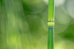 La vie en vert. (virginiefort) Tags: 15028 d600 equisetumjaponicum green macro macrophotographie macrophotography nikon sigma vert