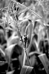 Balancing (Zsofia Nagy) Tags: 7daysofshooting week3 balance blackandwhitewednesday sparrow corn blackandwhite blackwhite bw nature bird
