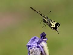 SWALLOWTAIL IN FLIGHT (gazza294) Tags: swallowtail butterfly butterflies flicker flickr flckr flkr gazza294 garymargetts