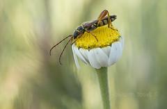 stenopterus rufus (Josep M.Toset) Tags: animalia arthropoda baixcamp blanc bosc camí catalunya coleoptera cerambícid cerambycidae d800 flors groc insecta josepmtoset macro nikon plantes