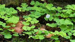 Wood_sorrel_after_rain (aka CJ) Tags: woodsorrel moss raindrops forest