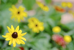 Black Eye (TheBeesKnees85) Tags: flower flowers yellow macro macrolife lasvegas usa summer blackeyedsusan garden bokeh blur focus 花 園