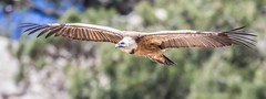 Griffon Vulture (Phil Gower Bird Photography) Tags: griffon vulture bird