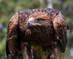 Golden Eagle (Chris Sweet 85) Tags: eagle goldeneagle birds nature nikon nikond7100 sussexfalonry