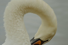 Mute swan (shannonquinney) Tags: swan muteswan naturephotography nature shape river riverphotography water animals nikonphotography fluffy texture coventry stokefloods waterfowl