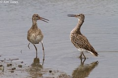 Willets (Tringa semipalmata) - Cape May, New Jersey (Kim Toews Photography) Tags: water animal nature wildlife grey brown canon400mmf56 outdoor sandpiper willet shorebird bird ocean atlanticocean usa capemay newjersey nj