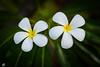 Frangipani (emmanuelbernard1) Tags: fleur flore france nature polynésie frangipanier frangipani rangiroa polynesie borabora