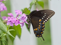 Spicebush Swallowtail Butterfly (mmorriso2002) Tags: butterfly insect flyinginsect spicebushswallowtail nature wildlife backyardhabitat gardeningforbutterflies newjersey
