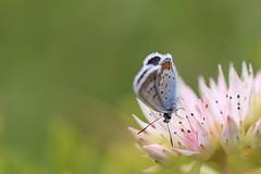 (liisatuulia) Tags: sinisiipi perhonen butterfly porkkala