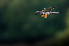 Hunting in the rain. (trevorwilson1607) Tags: hobby subbuteofalco birdofprey hunting hawking flying raptor falcon fast arialist rapid rain pouring highiso handheld countryside localpatch nikond500 sigma500f4 1000thsec f4 iso1200 soaked inseconds weather yuk thankheavensforcameracover cover