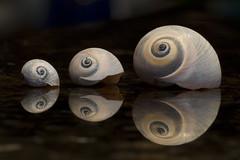 Three Spirals (brucetopher) Tags: three 3 spiral shell trio reflection reflect fibonacci fibonaccicurve goldenmean goldencurve curve math moonshell moonsnail snail mollusk mollusca mollusc seashell macromondays