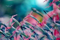 one way ... (mariola aga) Tags: chicagobotanicgarden glencoe garden flowers macro closeup hue colorbalance bokeh dof art myway gotcha