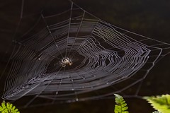 Hangin' out (Notkalvin) Tags: spider web spiderweb arachnid notkalvin mikekline notkalvinphotography predator waiting hanging orb orbweb nature outside outdoors hunting