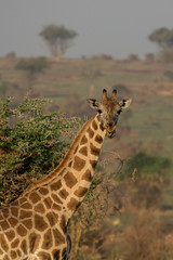 My, this tastes really good (Ring a Ding Ding) Tags: giraffacamelopardalisrothschildi murchisonfallsnationalpark paraa rothschildgiraffe uganda bokeh eating endangeredspecies female tongue nwoya northernregion coth sunrays5