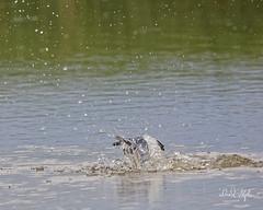 "Splash-down (dcstep) Tags: f4a1038dxo bif birdinflight flying flight diving water pond englewood colorado unitedstates us kingfisher beltedkingfisher male bird ""canon 5dsr"" ""ef 100400mm f4556l is ii"" allrightsreserved copyright2017davidcstephens dxoopticspro1142 ""cherry creek state park"" splash"