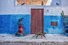 Cats (u c c r o w) Tags: cats colors blue street morocco arab arabian africa african uccrow wall door cat urban urbanlife citylife city streetphotography