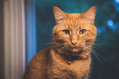 Week30 - Red (myswansong11) Tags: red orange tabi cat ansel adams project 52 photo challenge depth bokeh