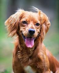 Windswept hair and my tongue sticking out? Must be #tongueouttuesday! Any adventures today, friends? I'm afraid I'm homebound for the day! • • • • • #campingwithdogs #hikingwithdogs #dogsonadventures #dogsthathike #adventuredog #thestatelyhound #houndandl (watson_the_adventure_dog) Tags: windswept hair tongue sticking out must be tongueouttuesday any adventures today friends im afraid homebound for day • campingwithdogs hikingwithdogs dogsonadventures dogsthathike adventuredog thestatelyhound houndandlife backcountrypaws doglove hikingdogsofinstagram excellentdogs adventureswithdogs topdogphoto heelergram hikingdog animaladdicts traildog ireland bestwoof dailydog visualsgang wanderireland instaireland inspireland irishpassion irelandgram campingculture stayandwander