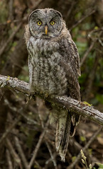 Immature Great Gray Owl (Strix nebulosa) - BC (bcbirdergirl) Tags: immature greatgrayowl fabulousface ilovethatface bc owl greatgreyowl largestowlbylengthonly phantomofthenorth cinereousowl spectralowl laplandowl spruceowl beardedowl sootyowl borealforest boreal camouflage stoplogging conservation staredown stare thatface juvenile wise stoic impressive juvie young