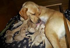 Caring Sunny..x (Lisa@Lethen) Tags: sunny puppies puppy feeding dog labrador pet beautiful