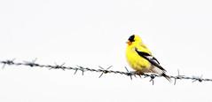 Bird on a wire (MontanaRoots (aka Craig)) Tags: goldfinch finch bird gold barbedwire washington audobon