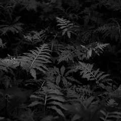 Thicket Details 036 (noahbw) Tags: captaindanielwrightwoods d5000 dof nikon abstract blackwhite blackandwhite blur bw dark darkness forest leaves light lowlight monochrome natural noahbw quiet square still stillness summer woods