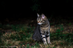 Miss très attentive... (Pascal Rey Photographies) Tags: animalerie animaux animals animales animali tiere cat katze chat chatte gato gatto