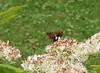 Silver spot skipper (REGOR NOTPUL) Tags: orbweaver spider arachnid dragonfly odonata lepidopteran skipper silverspot red admiral eastern coma apis melifera honeybee harvestman greenbottle fly glenburnie ontario bug crawl