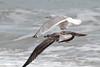 Caspian Gull (Larus cachinnans) (TG23-Birding in a Box) Tags: laruscachinnans caspiangull gull gulls cromer larusmichahellis yellowleggedgull